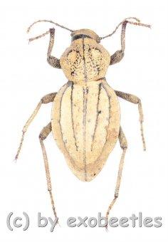Tenebrionidae spec. #19  ( 15 – 19 )  A2