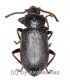 Tenebrionidae spec. #23  ( 10 - 14 )