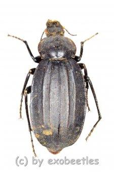 Tenebrionidae spec. #26  ( 25 - 34 )  A2
