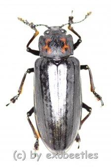 Tenebrionidae spec. #29  ( 20 - 24 )