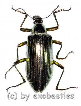 Tenebrionidae spec. #30  ( 25 – 29 )