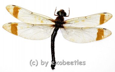 Tetracanthgyna spec. ( Big )  A1-