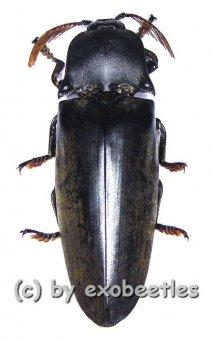 Tetralobus perroti  ( 45 - 49 )