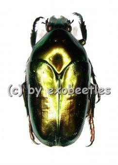 Thaumastopeus striatus ssp.striatus  A1-