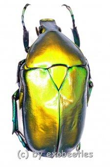 Torynorrhina distincta ( golden / grün )  ( 25 – 34 )