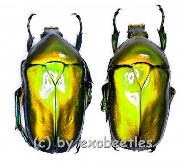 Torynorrhina distincta ( golden / grün )  ( M 25 – 34 )
