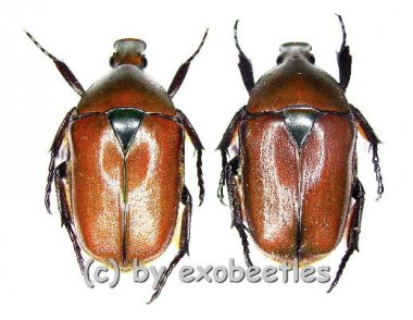 Torynorrhina fulvopilosa  ( 25 - 29 )