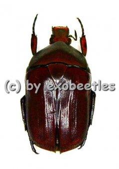 Torynorrhina thiemei  ( 20 - 29 )