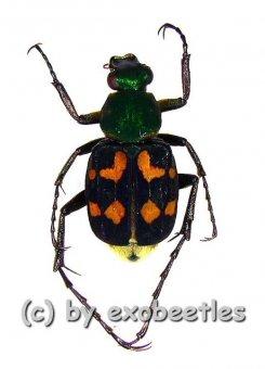 Trichius bowringi  ( 15 - 19 )