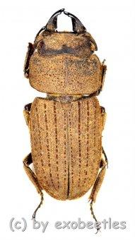 Velutinodorcus velutinus  ( 20 – 24 )