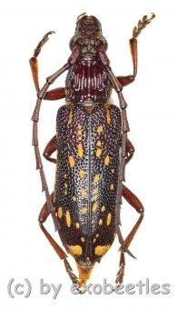 Xoanodera maculata  ( 20 - 24 )