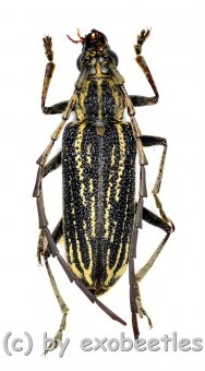 Xoanodera spec.  ( 25 - 29 )  A2