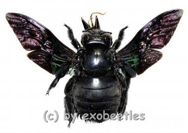 Xylocopa latipes