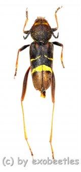 Xylotrechus latefasciatus  ( 15 - 19 )  A2