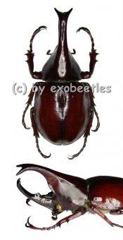 Xylotrupes gideon gideon  ( 55 – 59 )