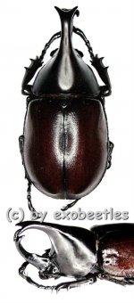 Xylotrupes gideon ssp.siamensis  ( 45 – 49 )