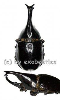 Xylotrupes gideon tanahmelayu  ( 60 – 64 )