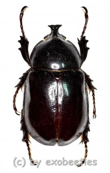 Xylotrupes inarmatus  ( 30 – 34 )