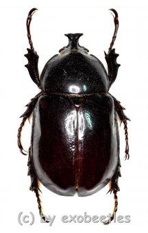 Xylotrupes inarmatus  ( 35 – 39 )
