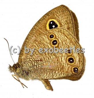 Ypthima baldus ( form nach Regenzeit )
