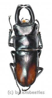 Yumikoi makii  ( 55 - 59 )  A2