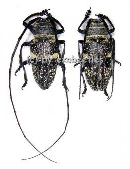 Zographus aulicus  A2