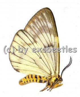 Zygaenidae spec.  A1/A-