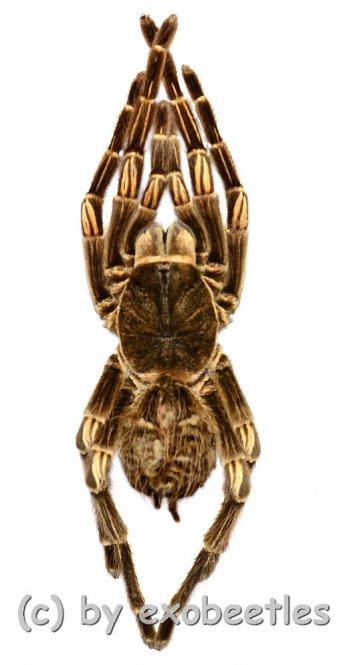 Acanthoscurria juruenicola ( Orange Bänder )  ( Big )