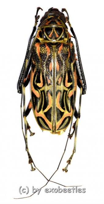 Acrocinus longimanus  ( 60 – 64 )