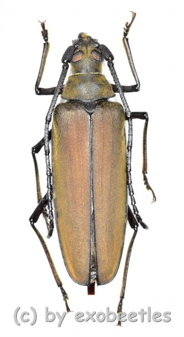 Aegolipton marginale  ( 25 - 29 )