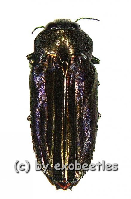 Afrobothris nigrita  ( 15 - 19 )