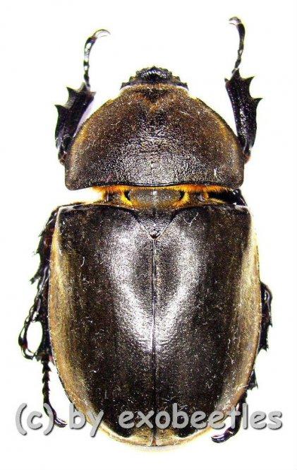 Allomyrina dichotomus septentrionalis  ( 40 - 49 )