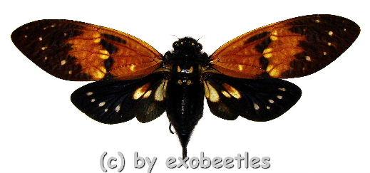 Ambragaeana ambra ( Spread )