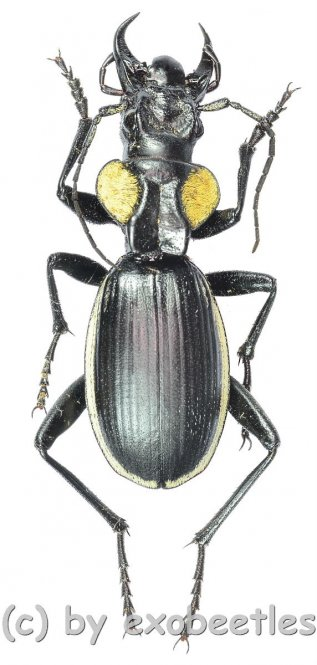 Anthia ( Anthia ) thoracica luculediensis  ( 35 - 44 )  A2