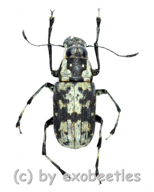 Anthribidae spec. #10  ( 10 - 14 )