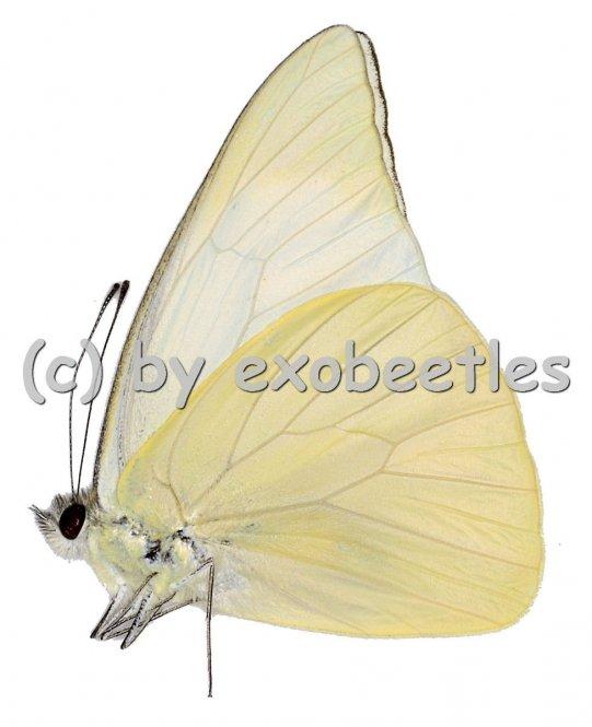 Appias albina pancheia