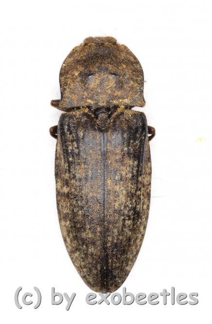 Argypnus murina  ( 15 – 19 )