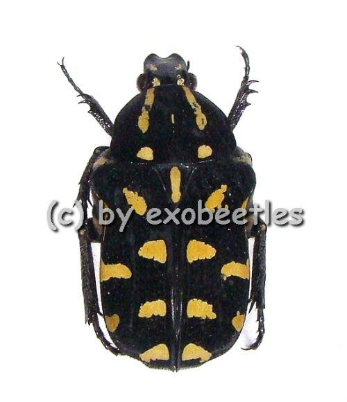 Astraea ( Astraea ) flavopunctata ( gelbe var. )