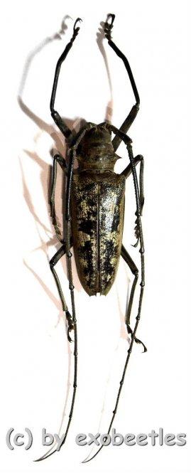 Batocera gerstaeckeri  ( 70 – 74 )  A1-