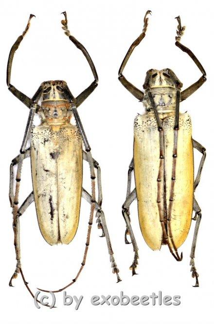 Batocera hercules  ( M 50 – 54 )