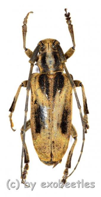 Blepephaeus succinctor succinctor  ( 25 - 29 )