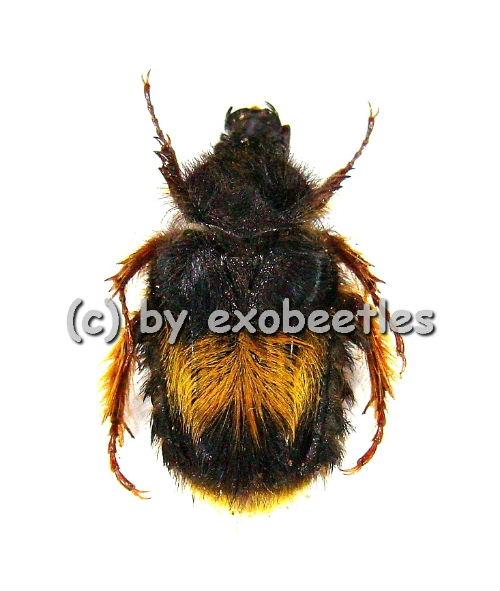 Bombodes ursus  ( 15 – 19 )