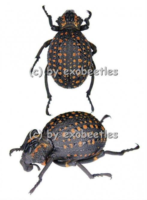 Brachycerus ornatus  ( 35 - 39 )