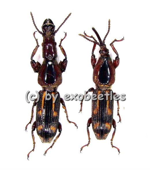 Brentidae spec. #4  ( 10 - 14 )