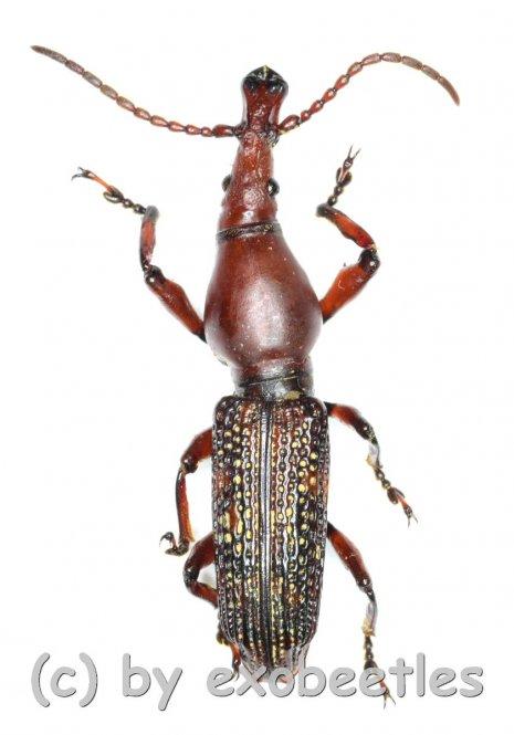 Brentidae spec. #9  ( 25 - 29 )