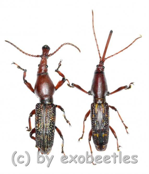 Brentidae spec. #9  ( M 25 - 29 )