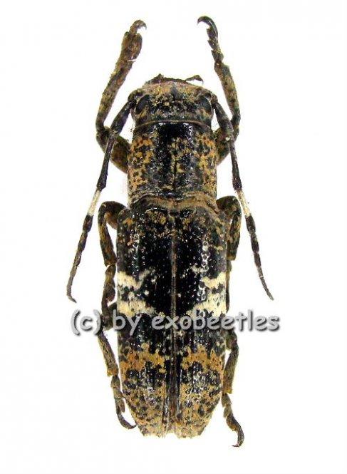 Callimetopus bifasciata  ( 15 - 19 )  A2