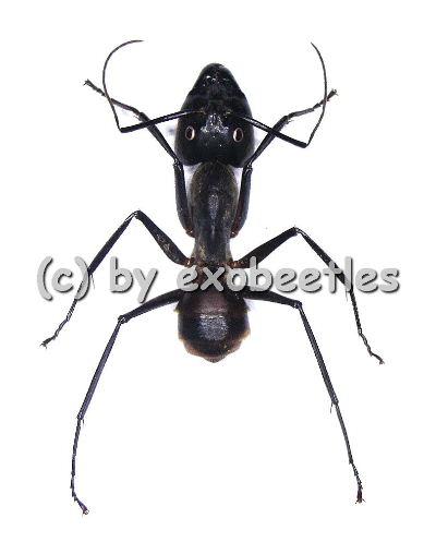 Camponotus gigas ( Soldier / Soldat ) Riesenameise  ( 25 – 29 )  A2
