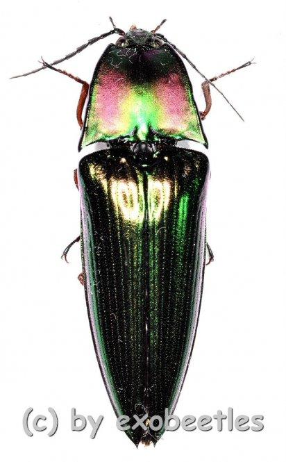 Campsosternus latiusculus  ( 25 – 34 )