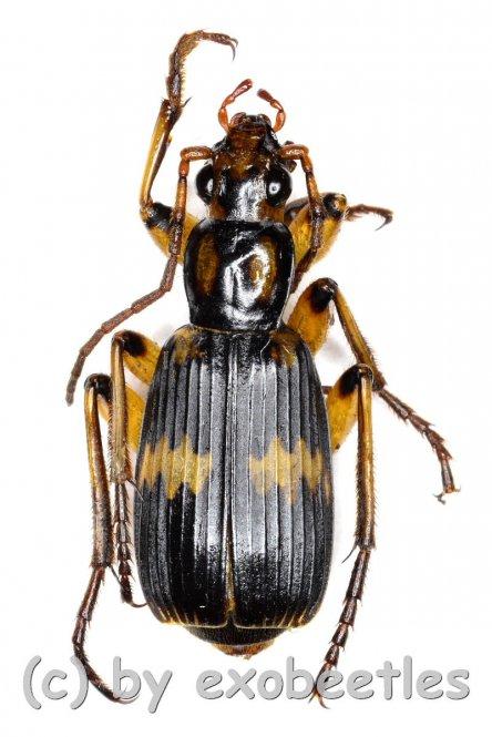 Carabidae spec. #20  ( 15 - 19 )
